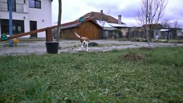 Beagle running towards the camera, slow motion