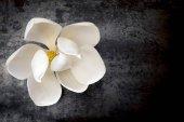 Květ Magnolie na tmavé břidlice pohled shora