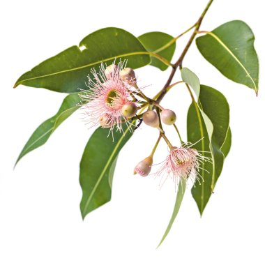 Pink Eucalyptus Flowers Buds and Leaves Isolated on White