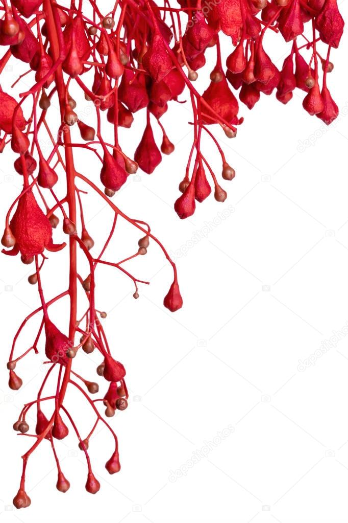 Flame Tree Red Flower Border over White