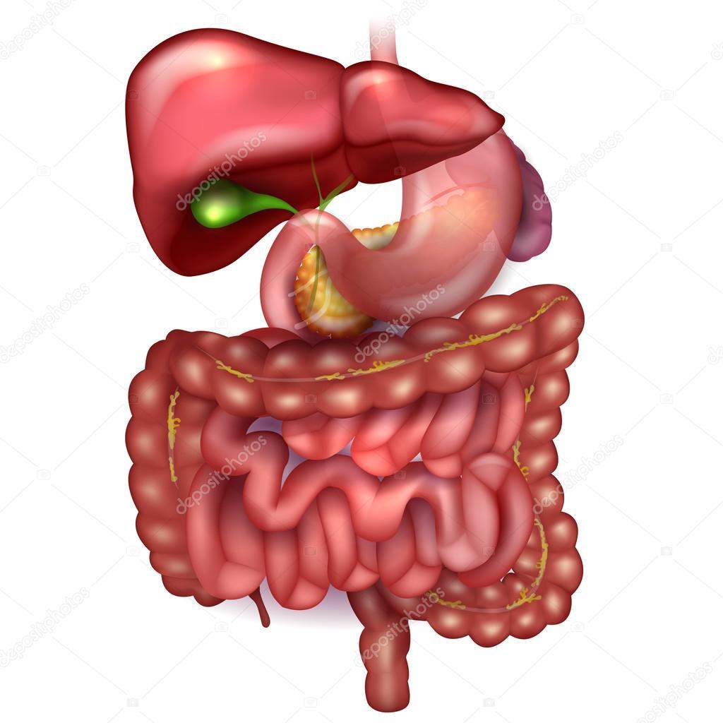 Magen-Darm-Trakt, Leber, Magen und anderen umliegenden org ...