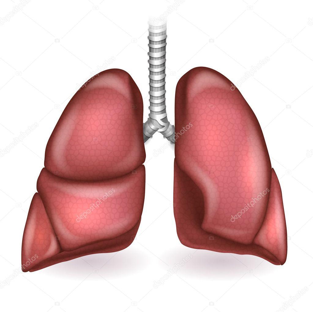 Los pulmones anatomía detallada ilustración sobre un fondo blanco ...