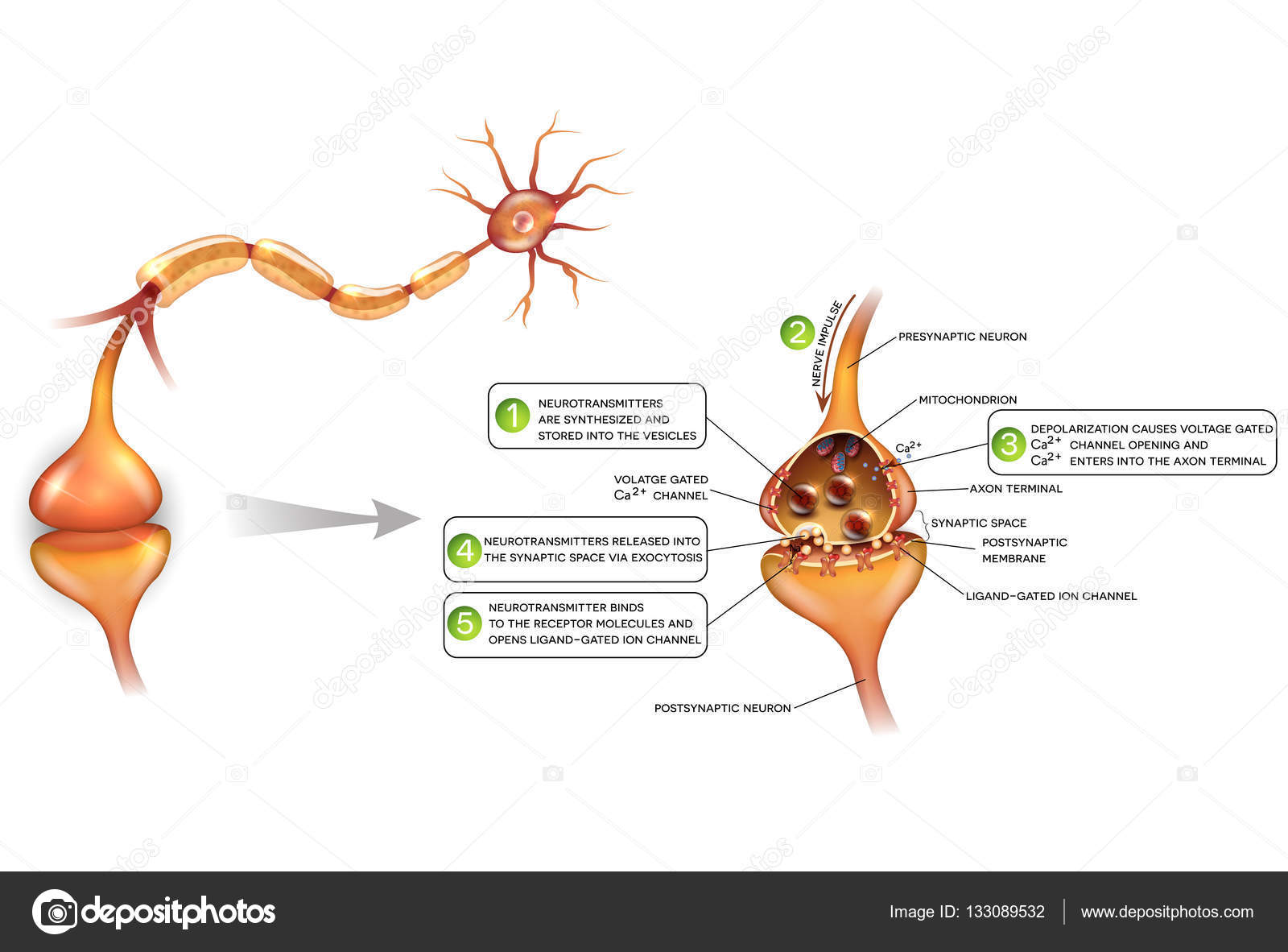 Neurons and closeup of synapse detailed anatomy — Stock Vector ...