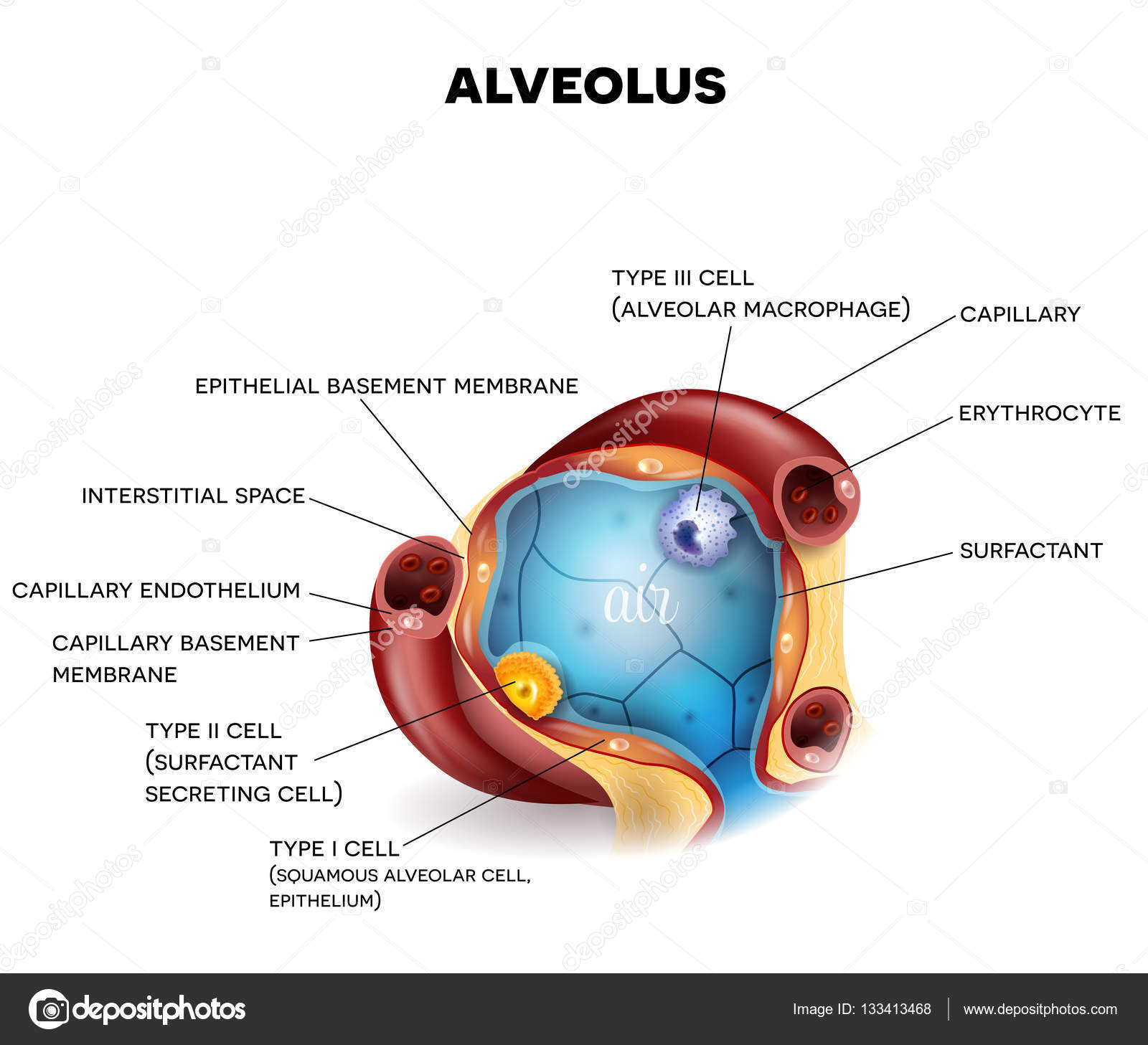 Alveolus close-up anatomie — Stockvector © megija #133413468