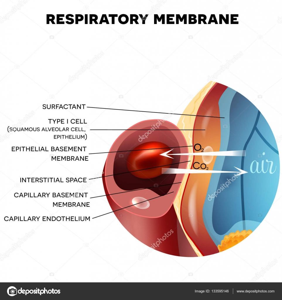 Membrana respiratoria del alvéolo — Archivo Imágenes Vectoriales ...
