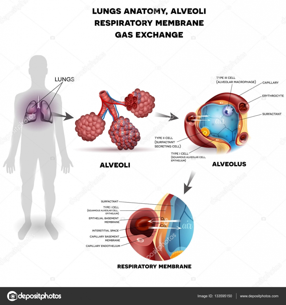 Alveoli anatomy, respiration — Stock Vector © megija #133595150