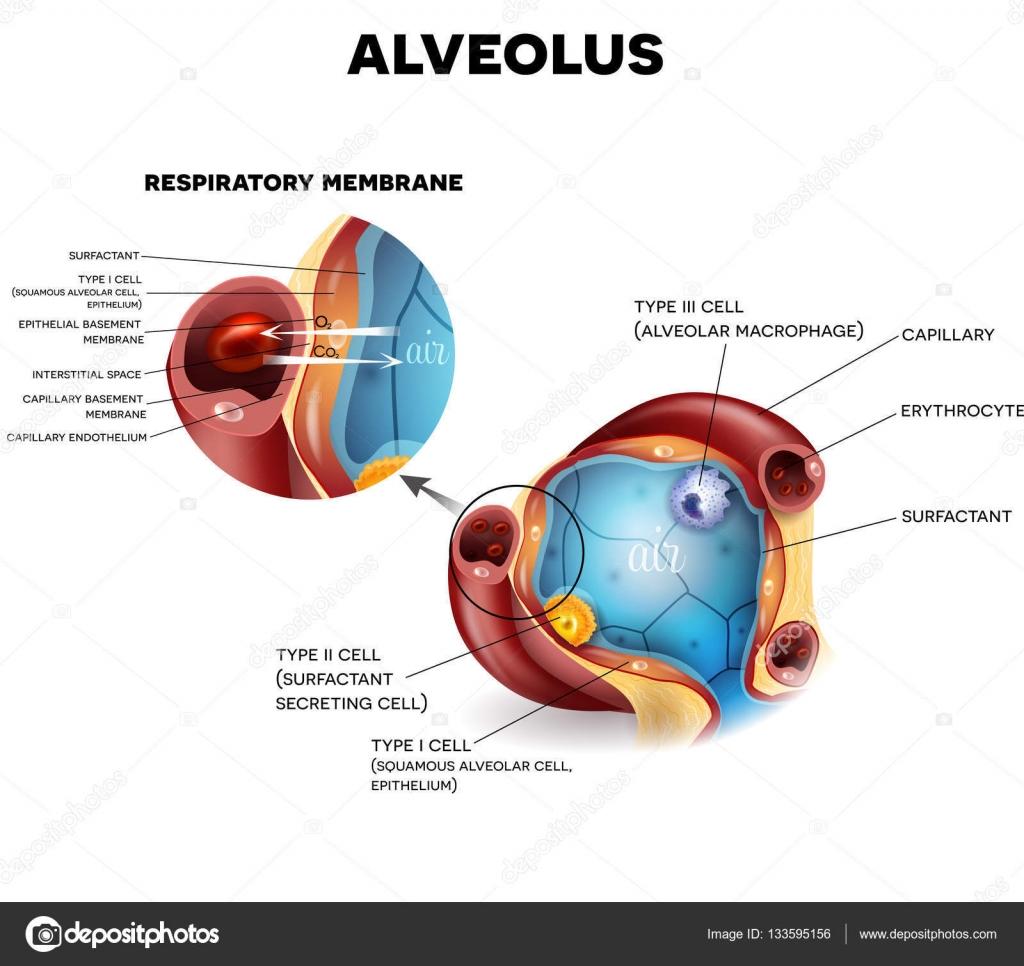 Anatomía de alvéolos, respiración — Vector de stock © megija #133595156