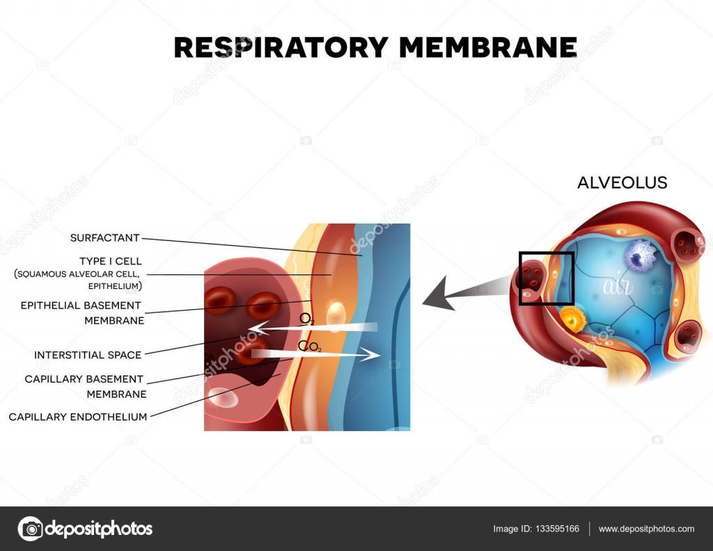 Alveole und respiratorische Membran detaillierte Anatomie ...