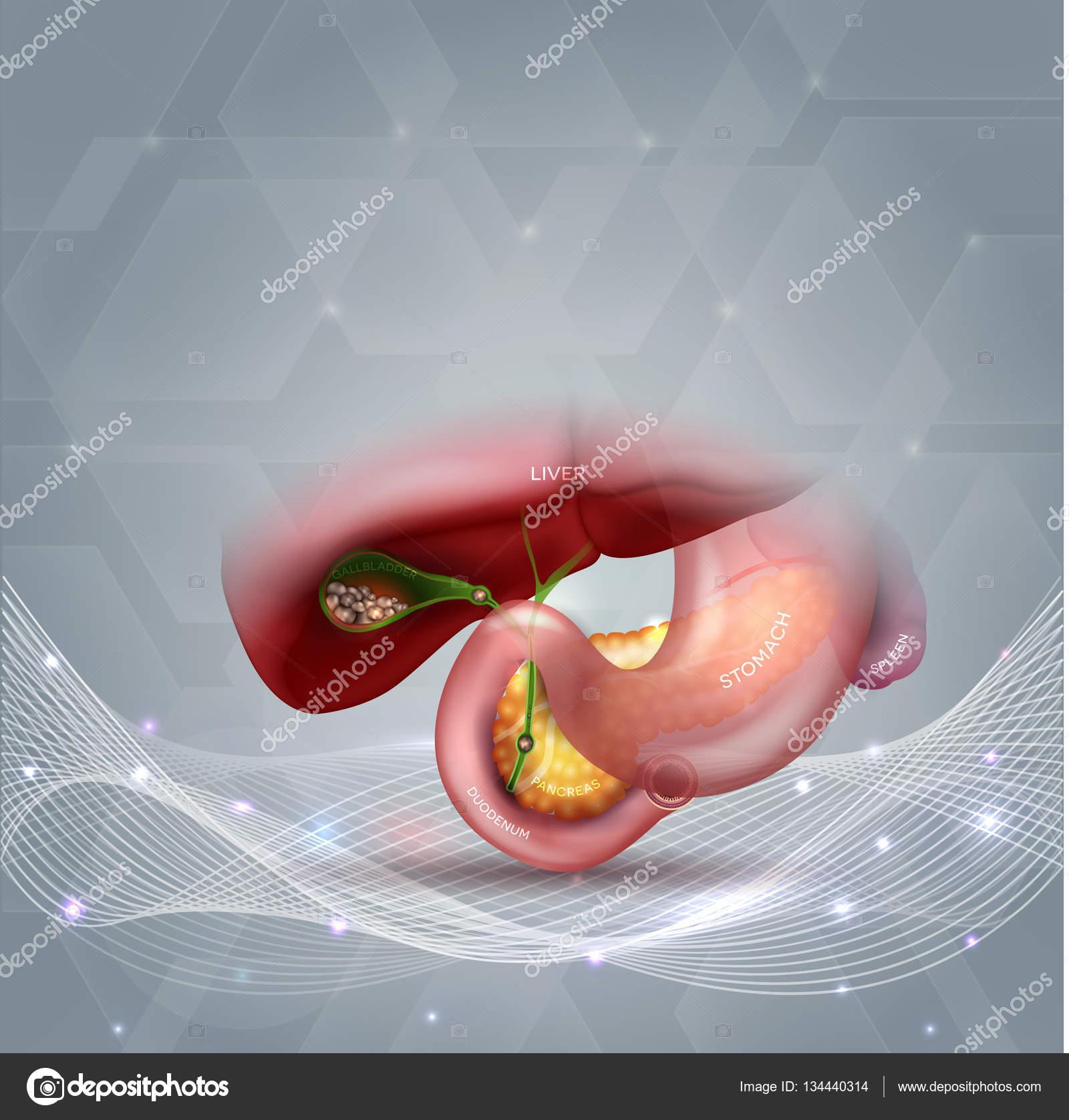 Cálculos biliares en la vesícula biliar — Vector de stock © megija ...