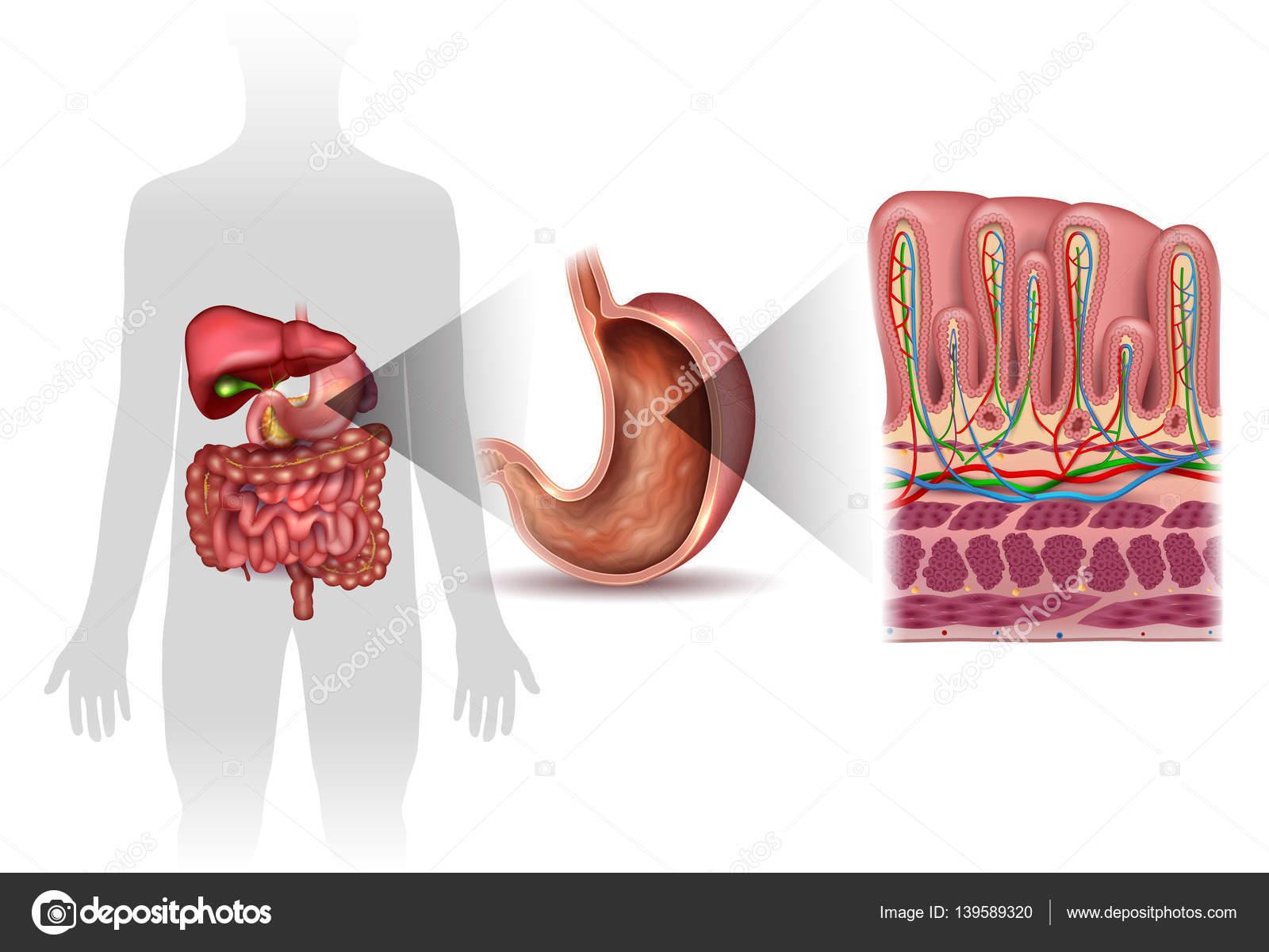 Capas de la pared del estómago anatomía detallada — Archivo Imágenes ...