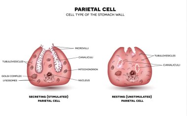 Parietal cell of stomach wall, located in the gastric glands sec