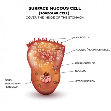 Foveolar cell or surface mucous cell of the stomach wall