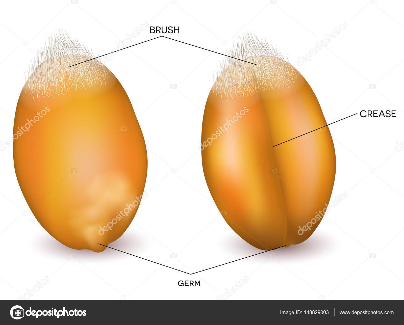 Wheat grain front and back — Stock Vector © megija #148829003