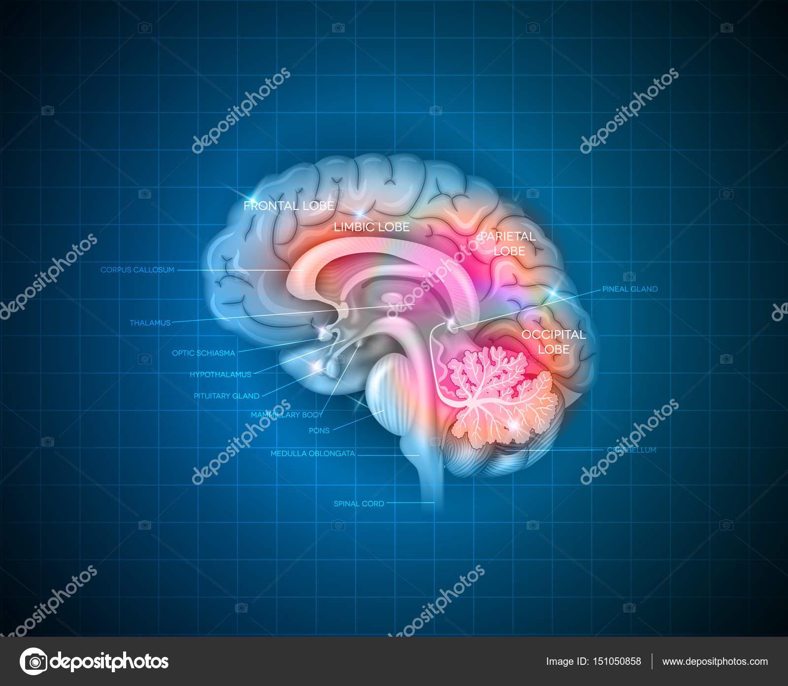 Anatomía del cerebro humano — Vector de stock © megija #151050858