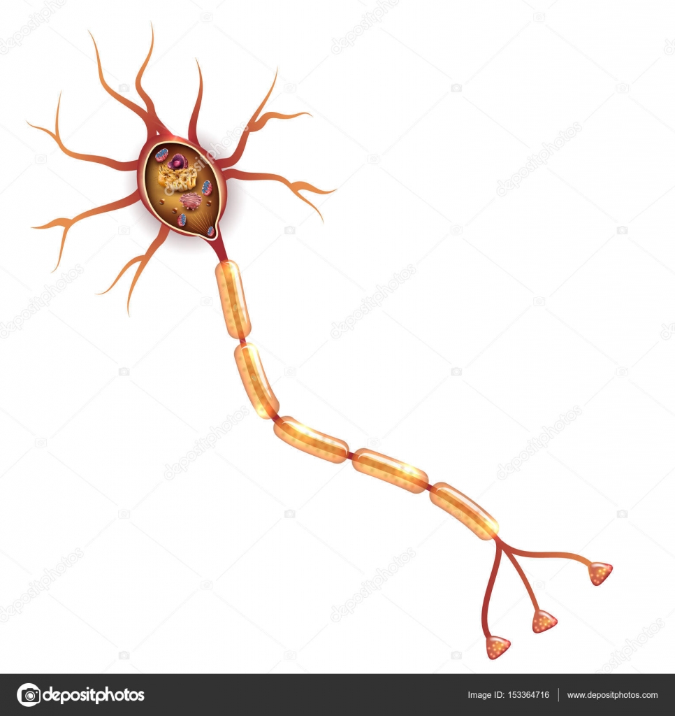 Neuron, nerve cell anatomy — Stock Vector © megija #153364716