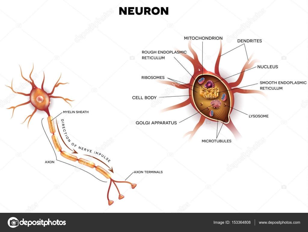 Neuron, nerve cell close up anatomy — Stock Vector © megija #153364808