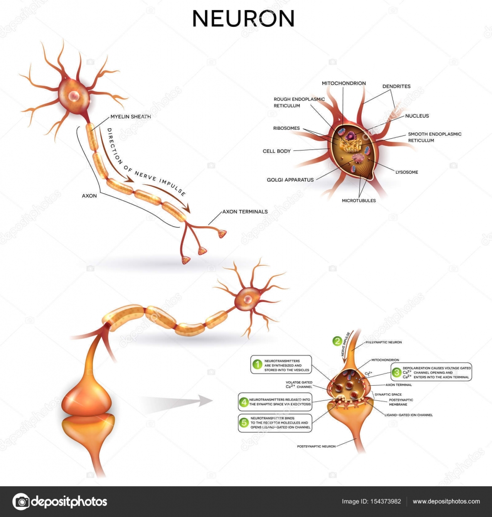 Neuron detailed anatomy — Stock Vector © megija #154373982