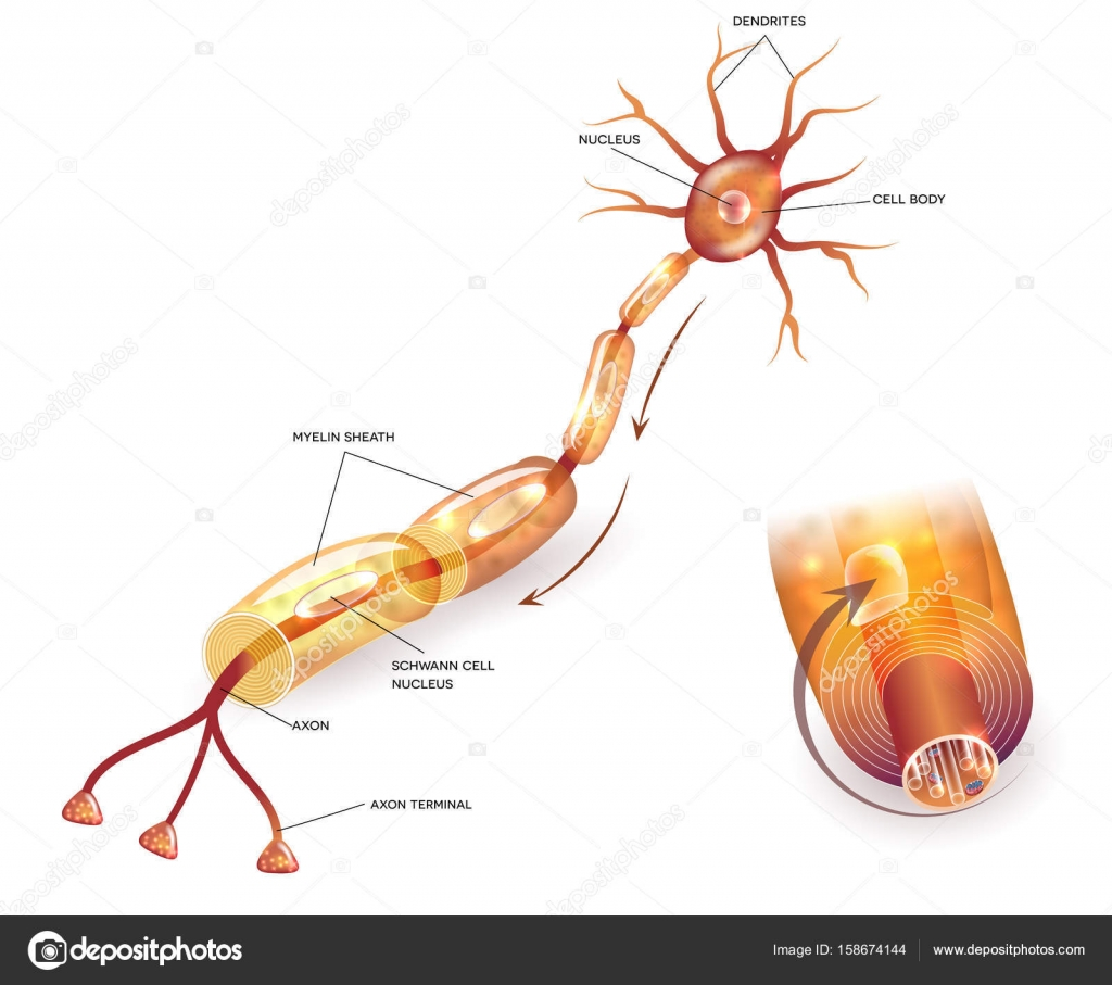 Myelination de neurona — Archivo Imágenes Vectoriales © megija ...