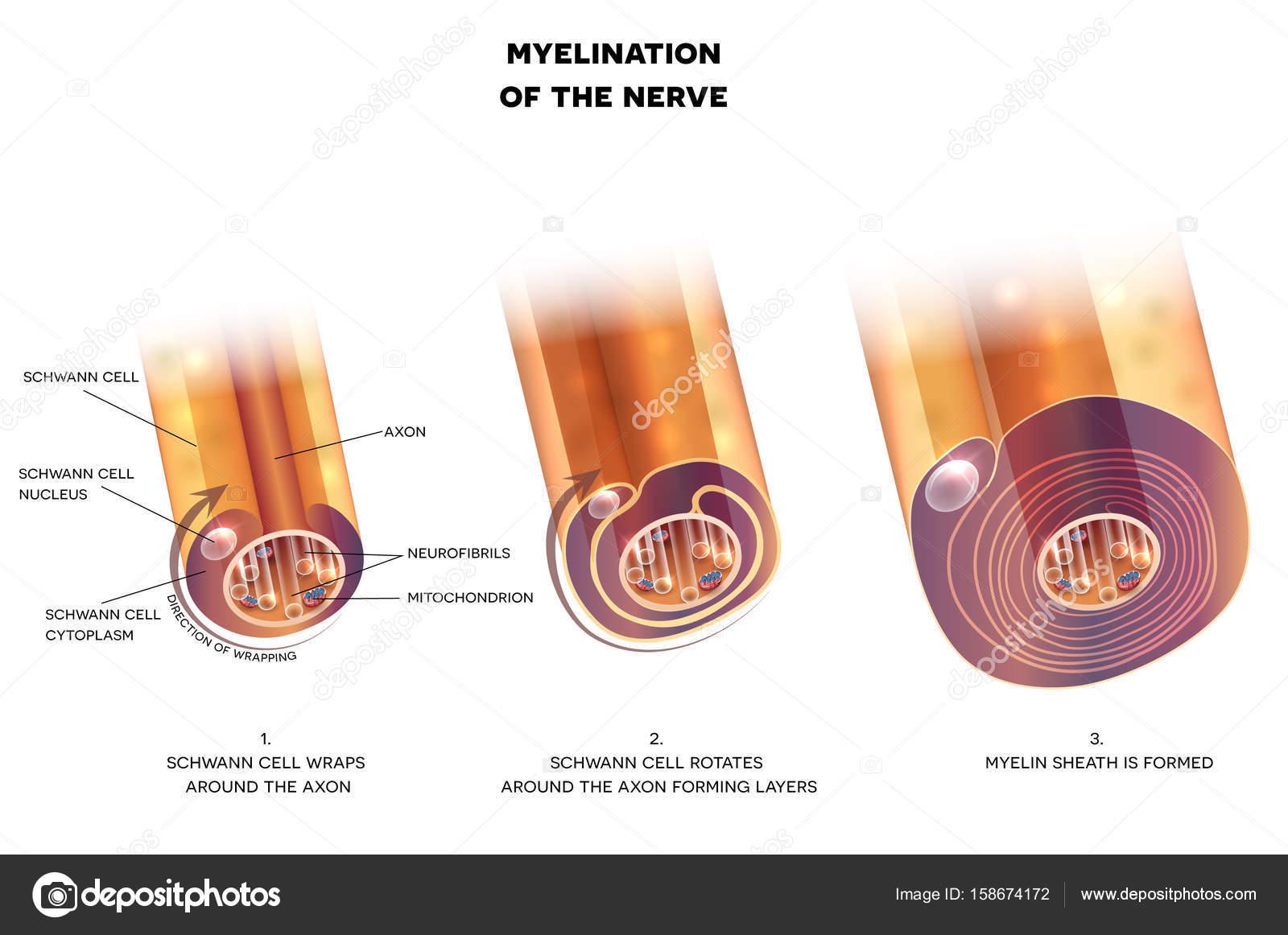 Myelination de neurona — Vector de stock © megija #158674172