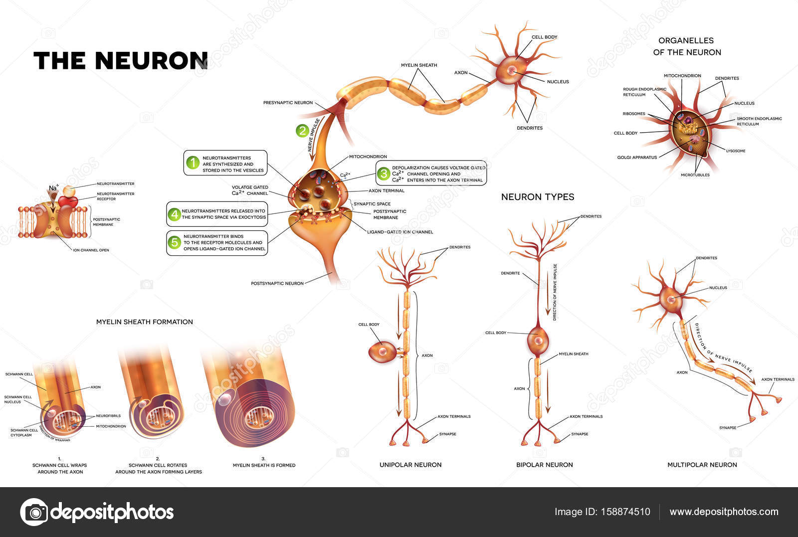 The neuron anatomy poster — Stock Vector © megija #158874510