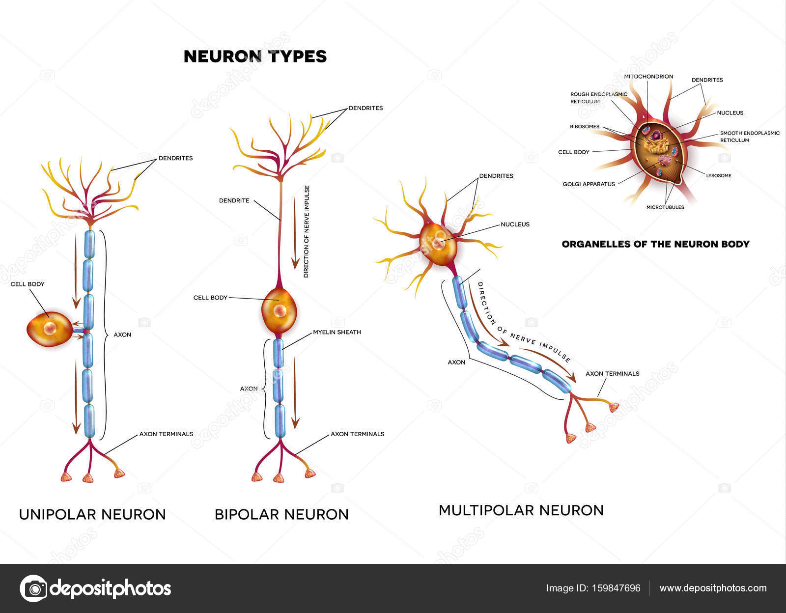 Nerve cell types and organelles stock vector megija 159847696 nerve cell types and organelles of the cell body close up detailed anatomy illustration vector by megija ccuart Image collections