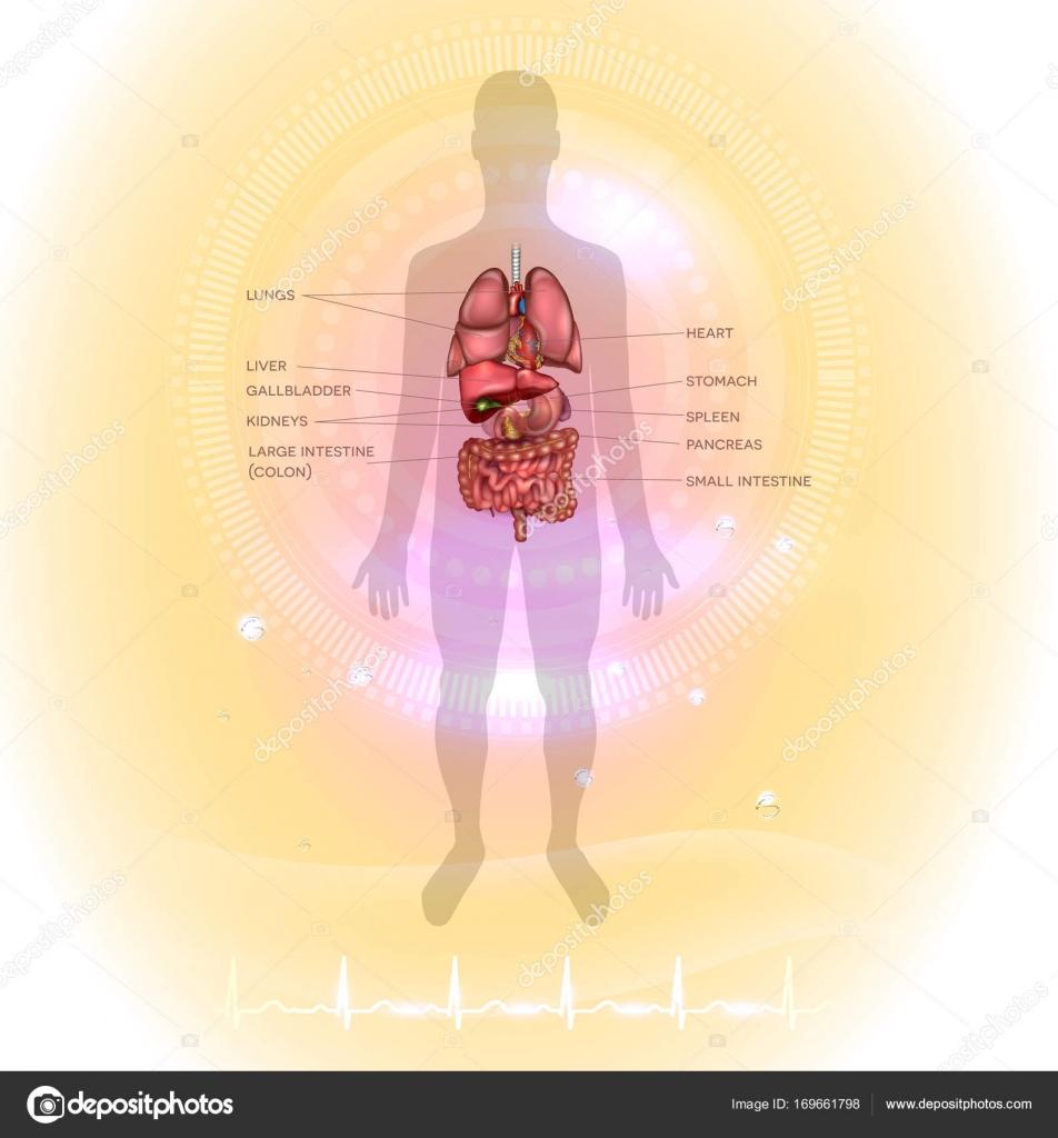 Anatomía humana de órganos internos — Archivo Imágenes Vectoriales ...