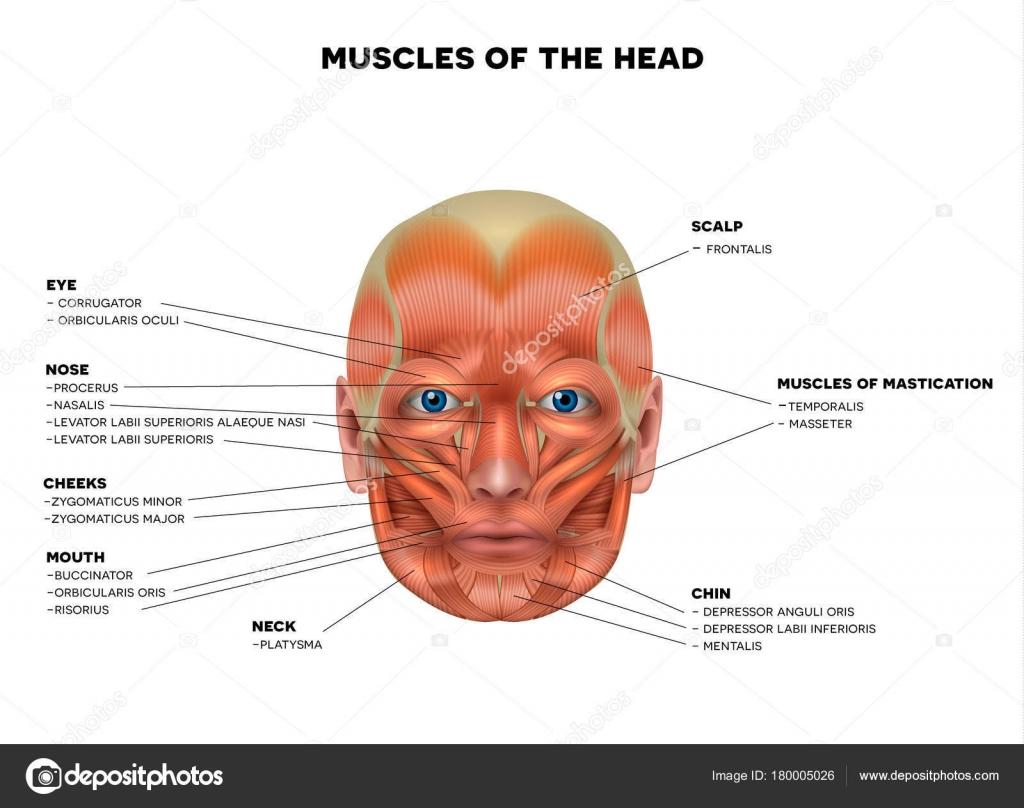 Muskeln des Gesichts detaillierte helle Anatomie isoliert auf einem ...