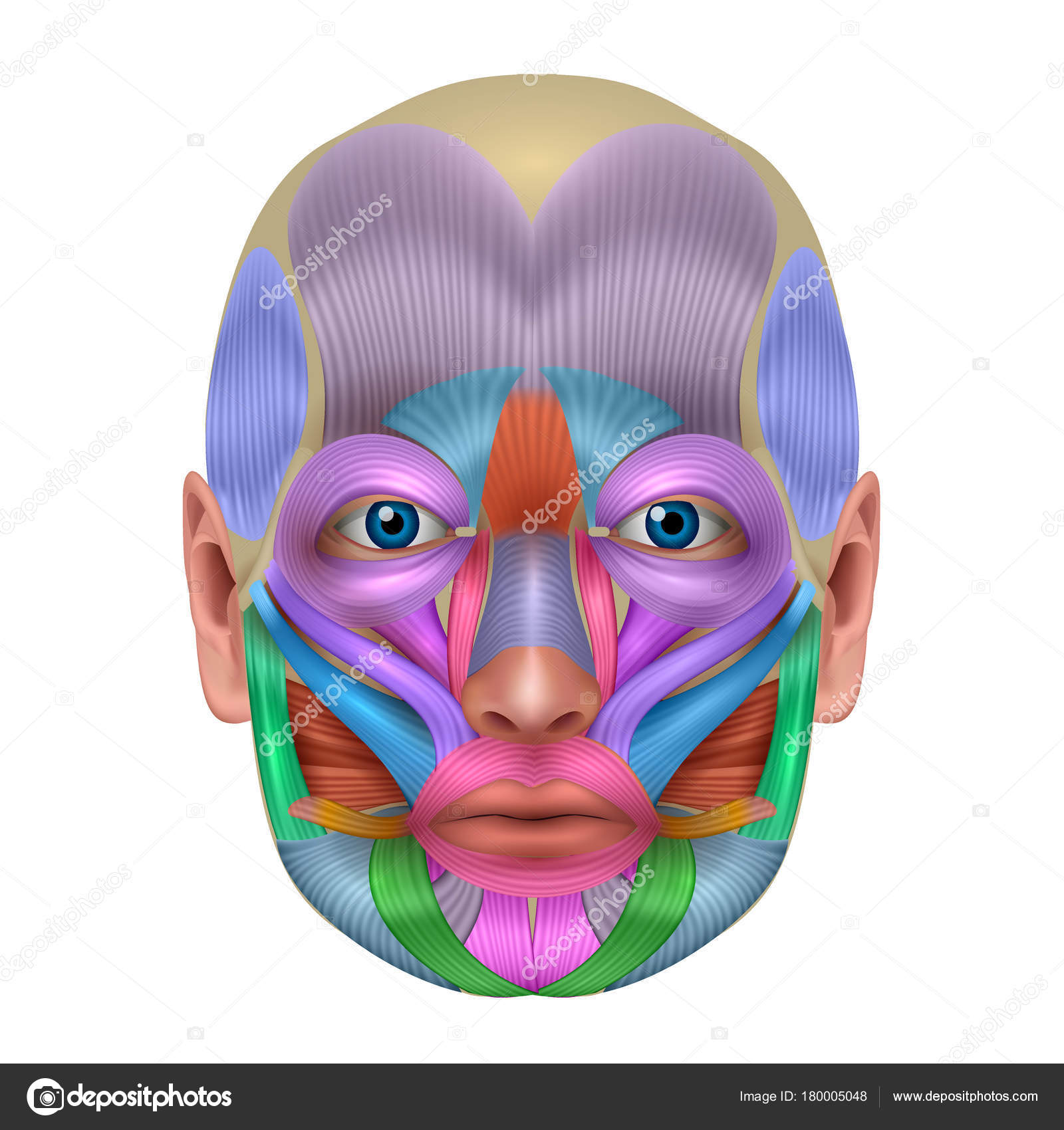 Detallan de los músculos de la cara color brillante — Archivo ...