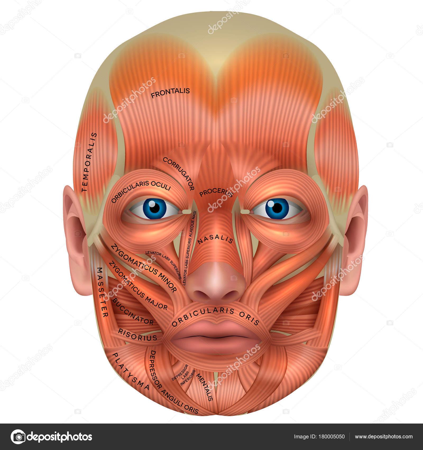 Músculos de la cara detallan anatomía brillante aislado en blanco ...