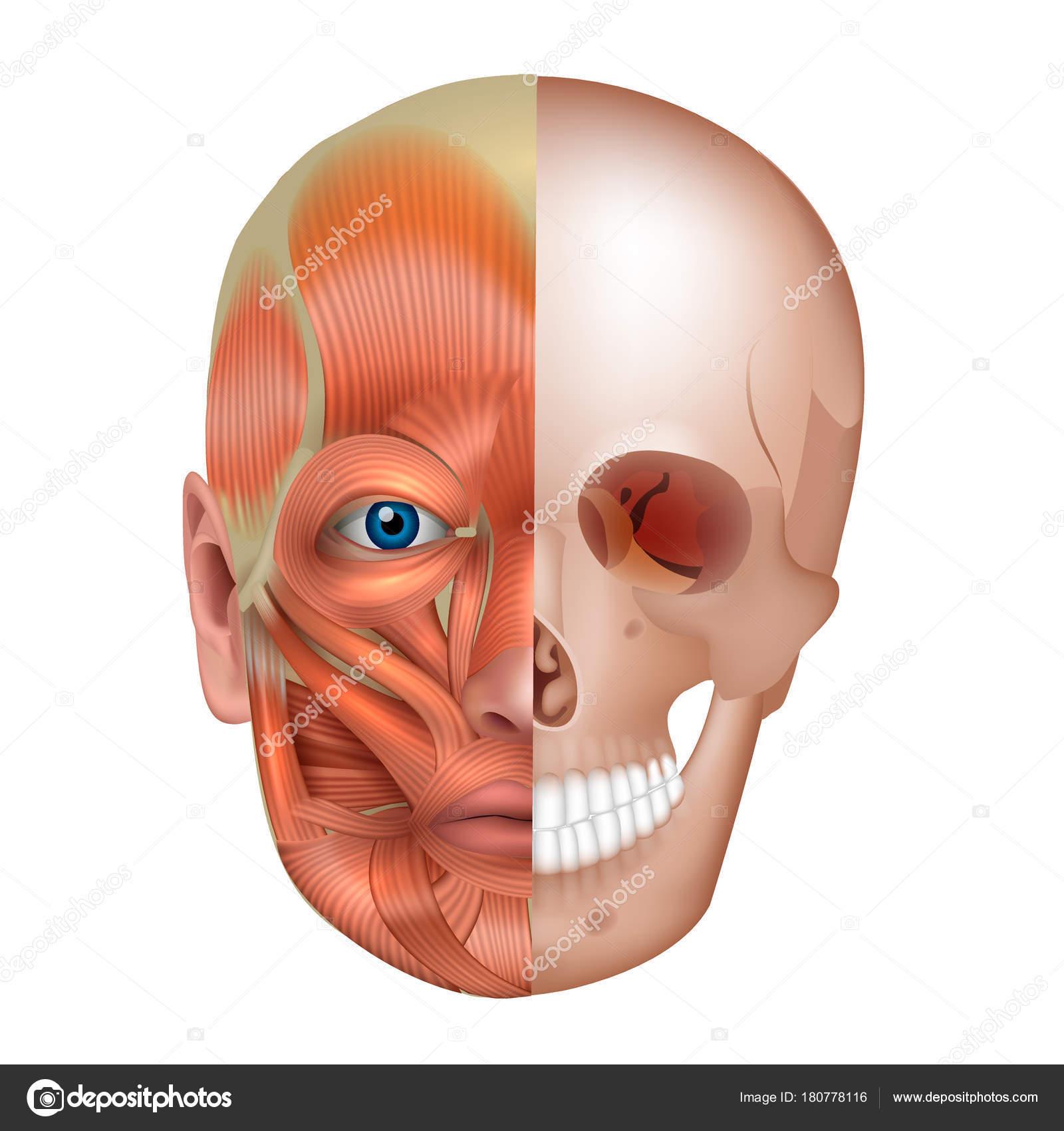 Los Músculos Los Huesos Cara Detallan Anatomía Brillante Aislado ...