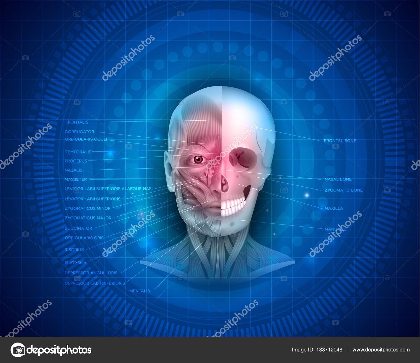 Los músculos y los huesos de la cara — Archivo Imágenes Vectoriales ...