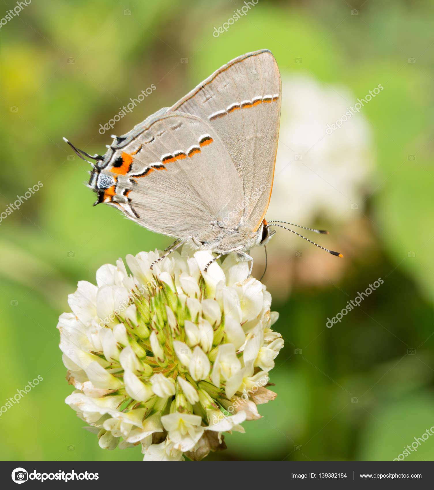 Winzige Graue Zipfelfalter Schmetterling Futterung Auf Eine Weissklee