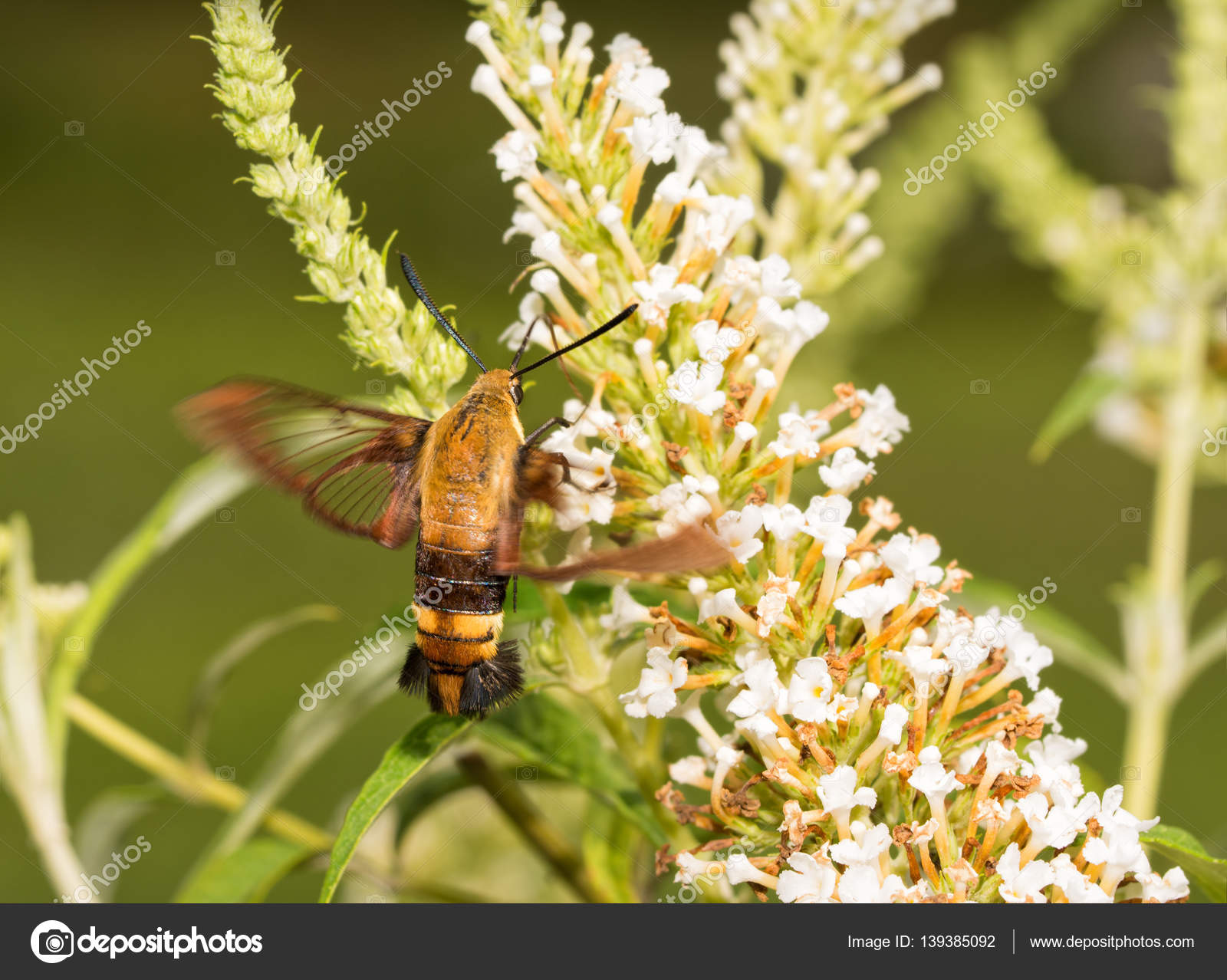 Snowberry Clearwing Moth In Flight Feeding On White Flower Cluster
