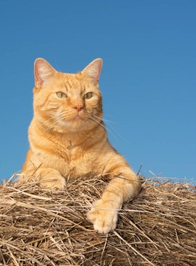 Handsome orange tabby cat observing world from the top of a hay bale