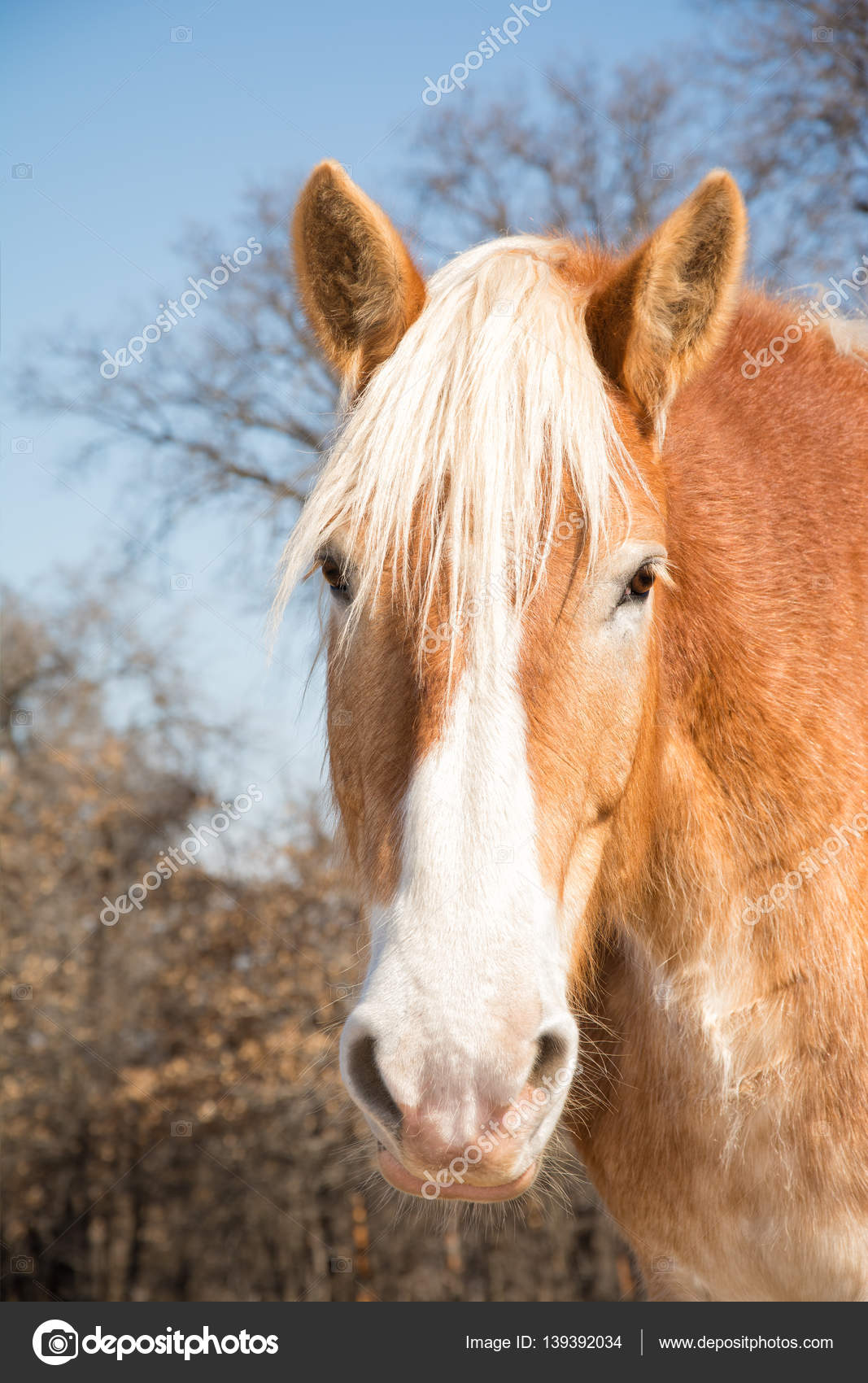 Belgian Draft Horse Head On Looking At The Viewer With A Curious Expression Stock Photo C Okiepony 139392034