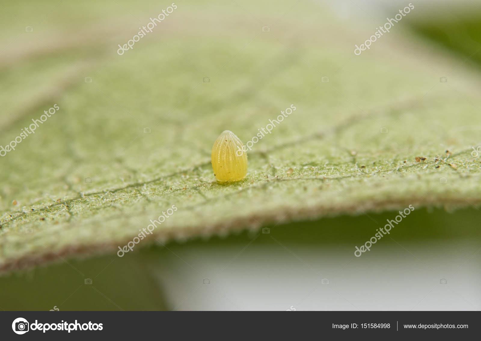 Huevo De Mariposa En Ingles Huevo De Mariposa Monarca A Una Hoja