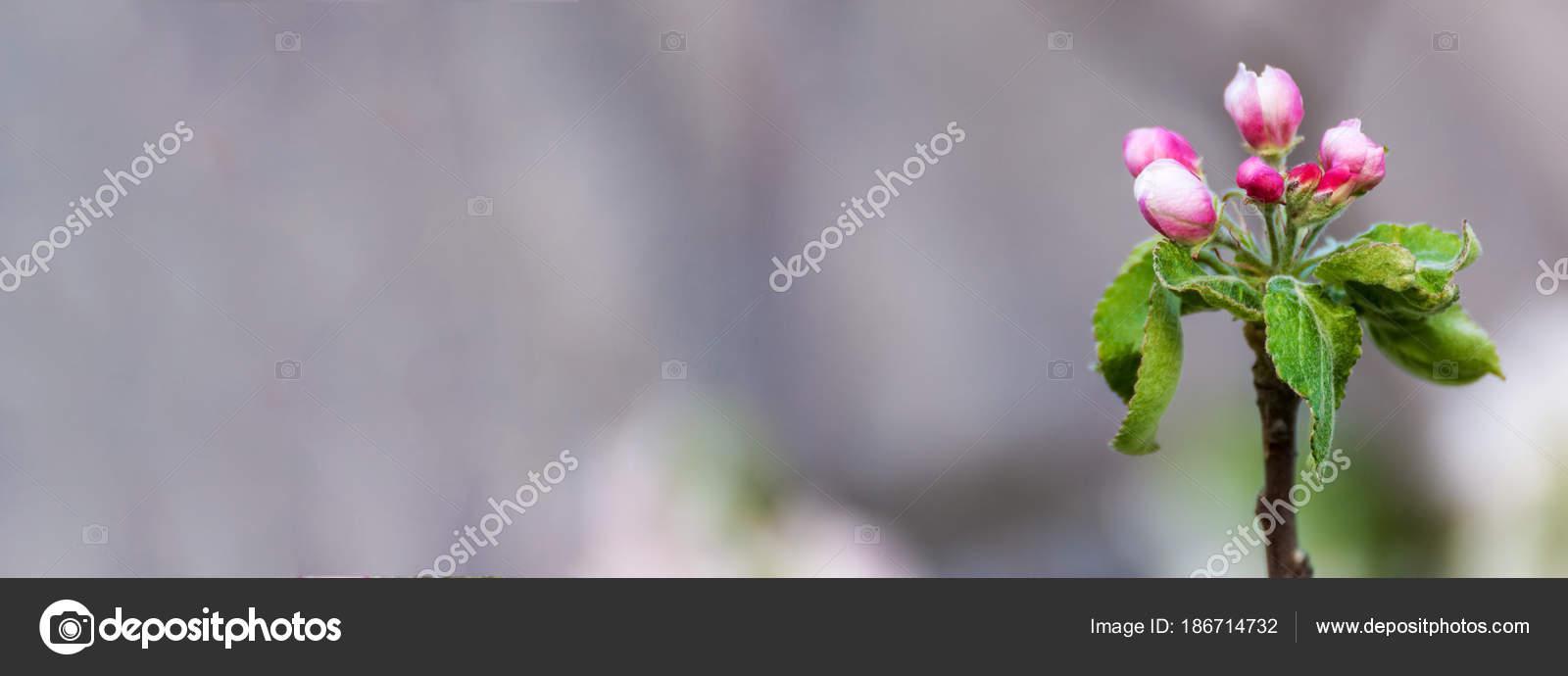 Pommier Avec Les Bourgeons Deplies Roses Photographie Photozirka