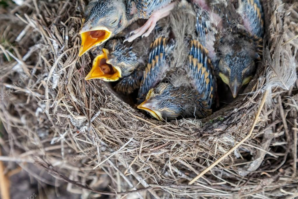 Song thrush chicks sitting in nest