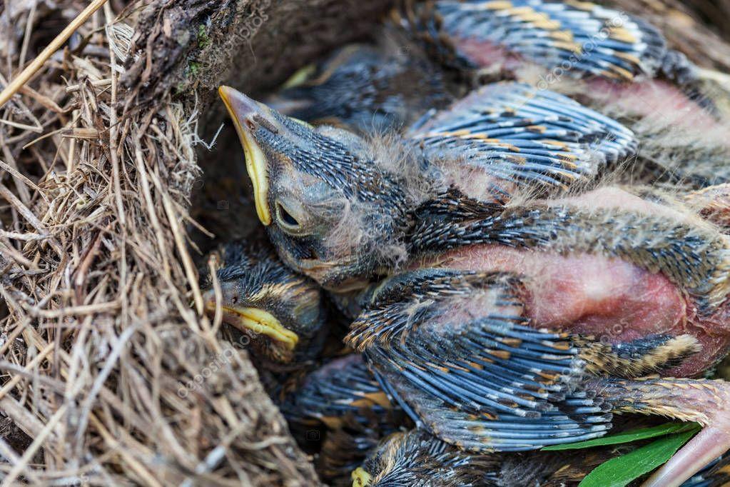 Song thrush chicks sitting in nest