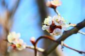 Na jaře kvetou stromy. bílé meruňky květiny