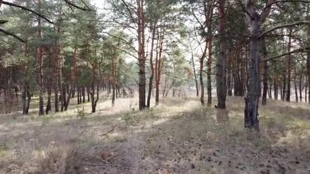 v borovém lese. vysoké borovice