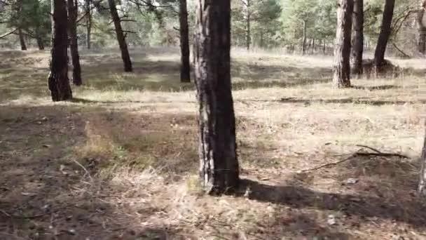 egy fenyőerdőben. magas fenyők