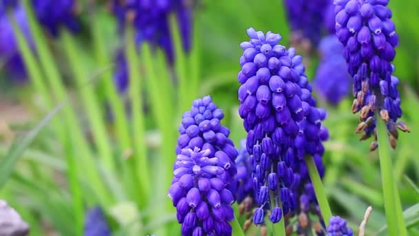Muscari are blue. spring flowers. beautiful little blue flowers