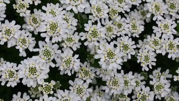 a lot of little white flowers. floral background.