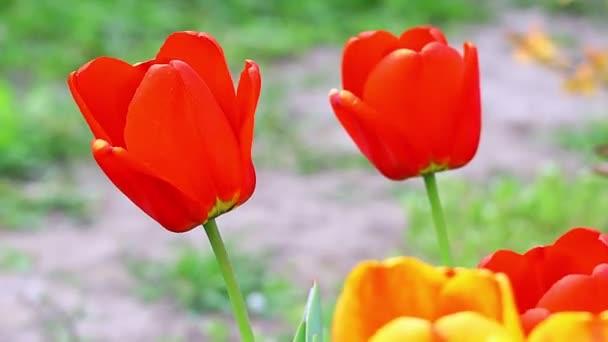 Gyönyörű fényes tulipánok. narancs és vörös tulipán.