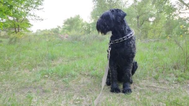 Großer schwarzer Hund in der Natur. schwarzer Terrier