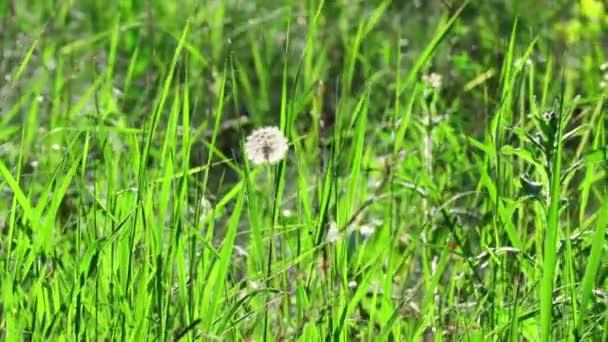 schöne weiße Löwenzahne. Wind wiegt Gras und Löwenzahn