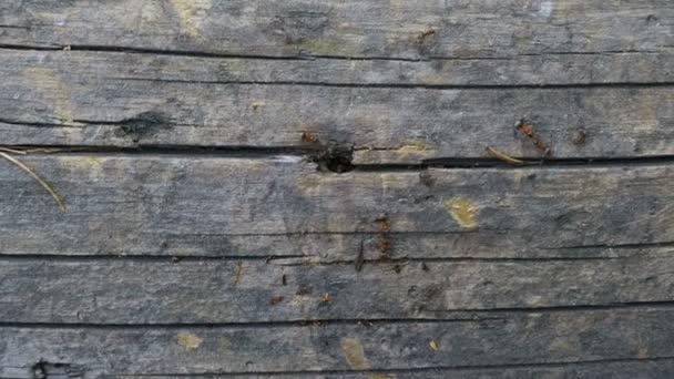 mraveniště na stromě. mnoho červených mravenců