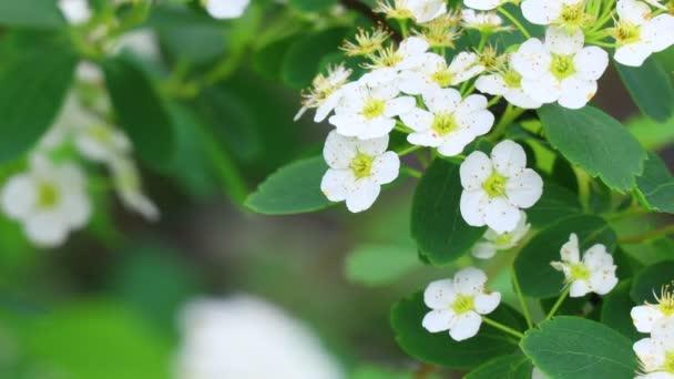 velký keř bílých květin. krásná spirea