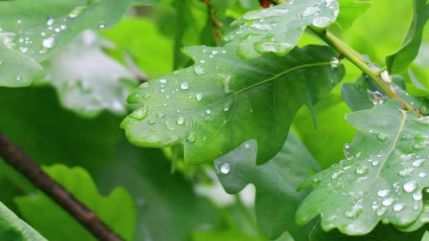 large raindrops on the leaves. oak leaves and drops